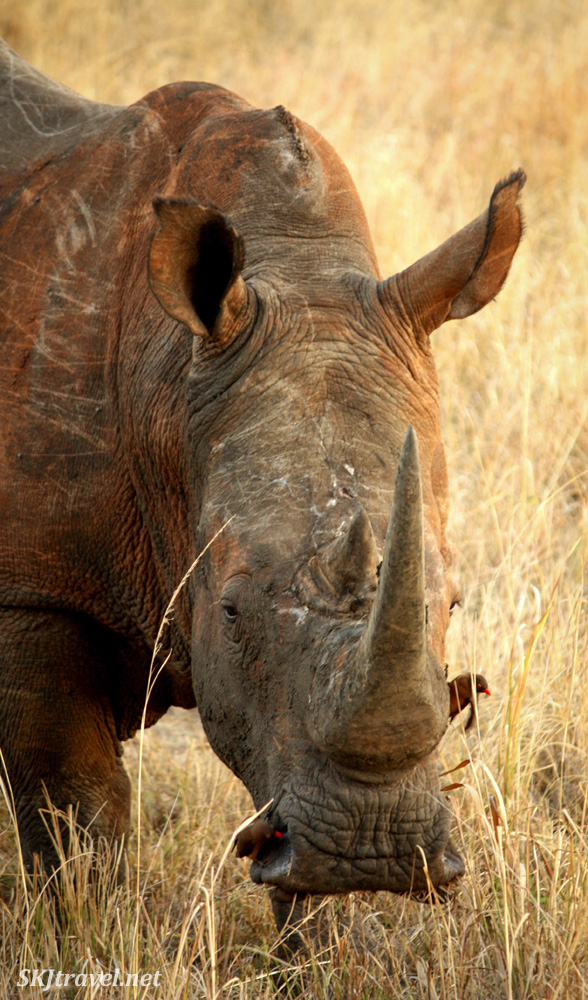 White rhino with oxpeckers, one in his nostril. Hluhluwe-iMfolozi NP, South Africa.