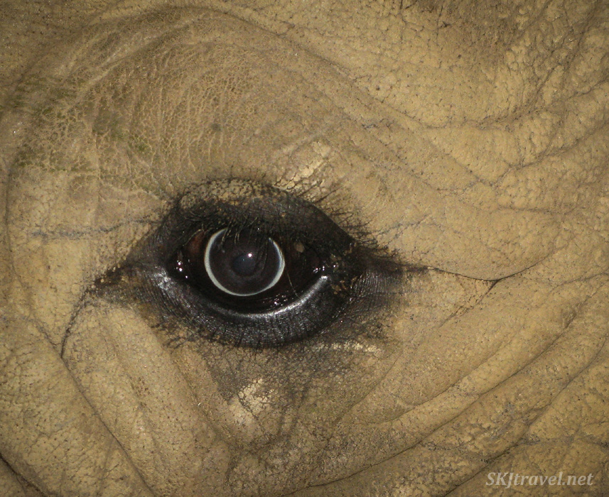 She's looking at you! Eye of a white rhino at the UWEC, Uganda. #JustOneRhino