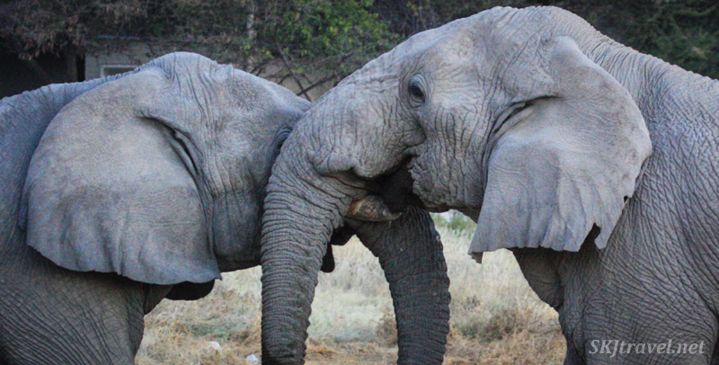 Close encounters ... two male elephants testing each others' strength in Etosha NP, Namibia.