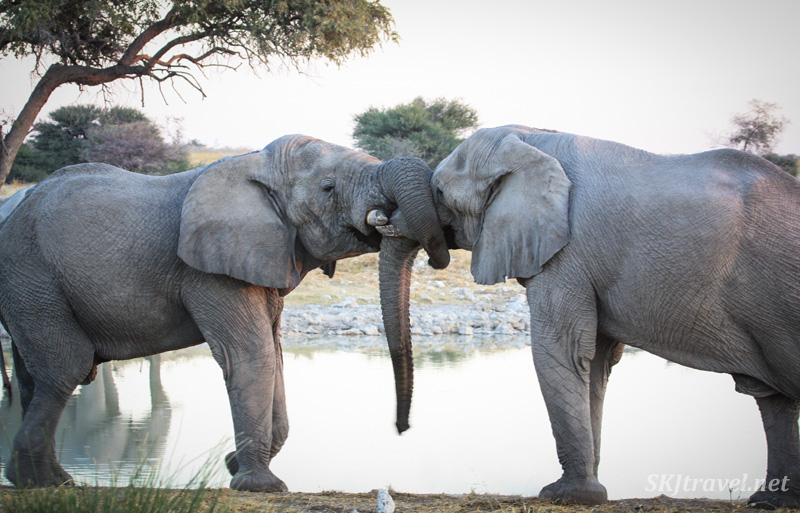 Two male elephants wrapping their trunks around each others' in a gentle sparring match at a water hole in Etosha NP, Namibia.