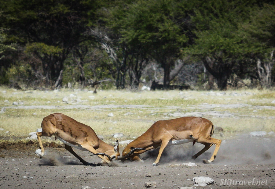 Two male impala sparring with horns locked, faces pushed into the dirt. Etosha NP, Namibia.