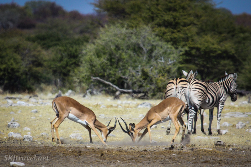 Two male impala prepare to spar with each other, heads lowered. Zebra in the background. Etosha NP, Namibia.