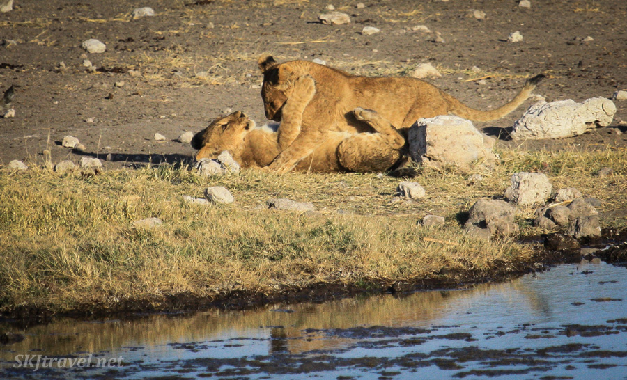 Lion cubs tussling with each other next to a water hole, Etosha NP, Namibia.