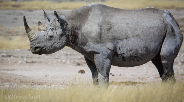 Quite heavily wounded black rhino at Etosha NP, Namibia.