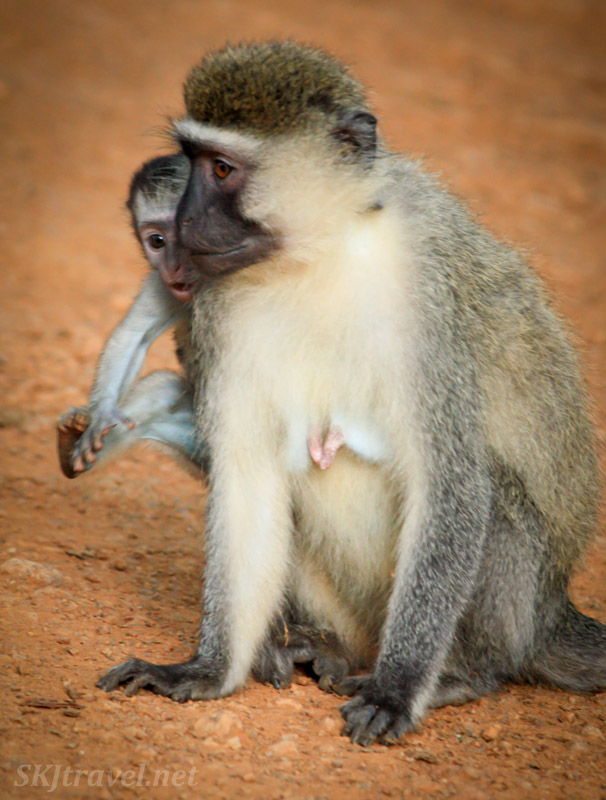 Blue-skinned vervet baby with its mother. Uganda.