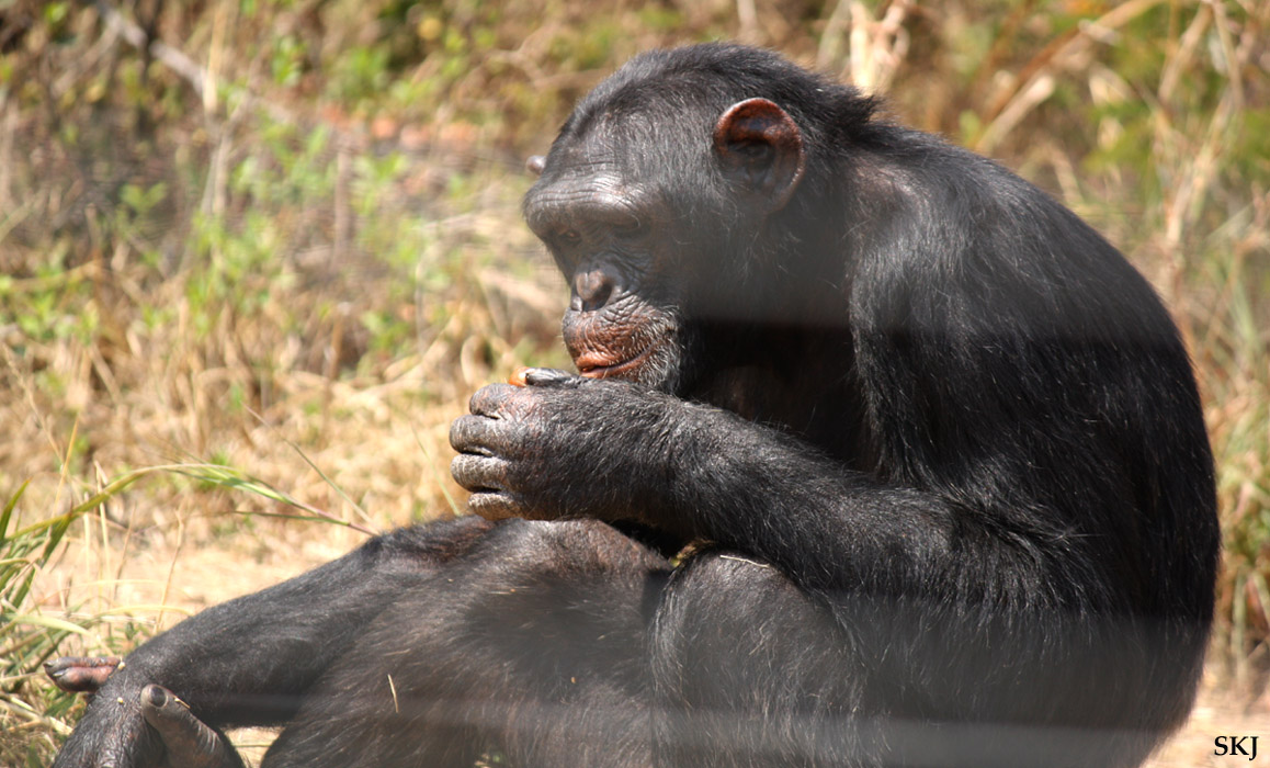 chimp resting his wrist between his toes