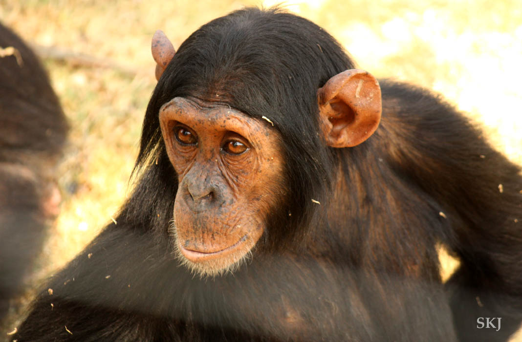 chimpanzee with big ears