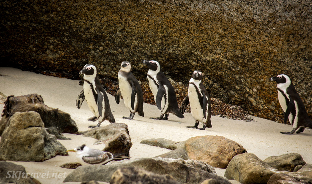 Penguins on their way to the club house, Boulder Beach, Cape Town, South Africa.