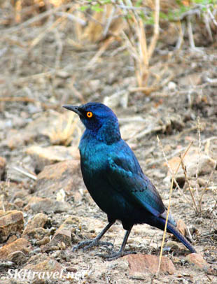dark blue bird, irridescent