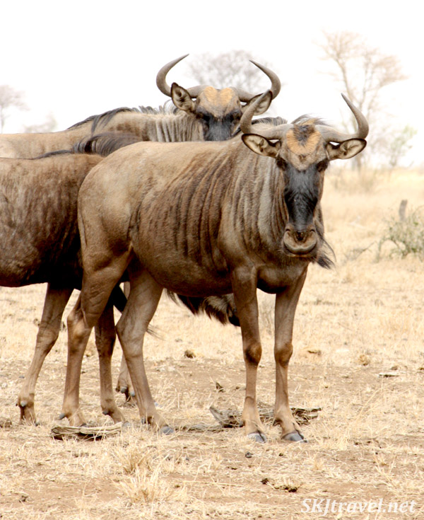 two wildebeests