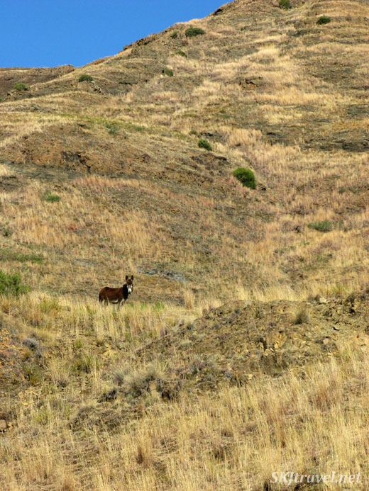 small donkey alone on a hillside. Lesotho