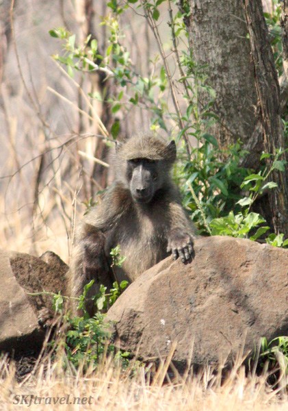 young baboon with hand on a rock