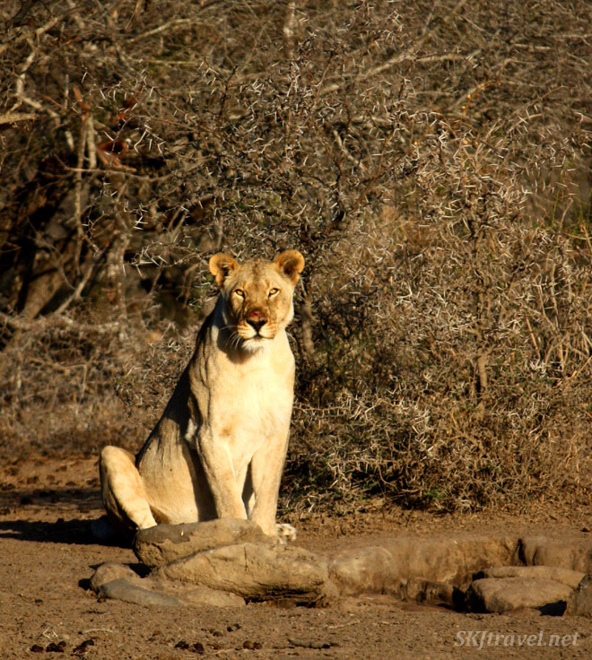 Lone lioness sits at small water hole.