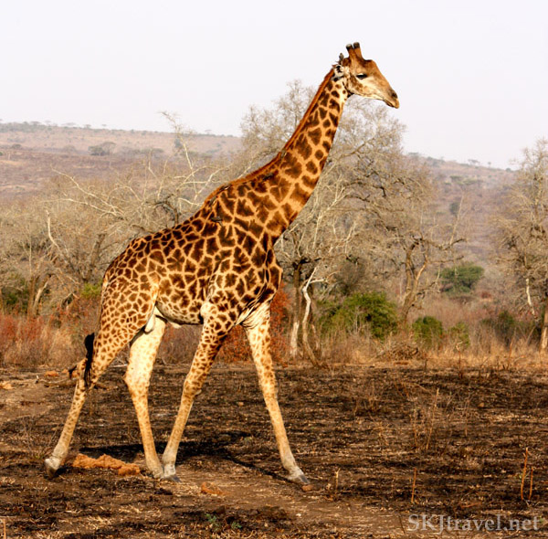 Lone young giraffe in scrubby brush.
