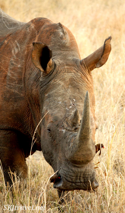 Close up of white rhino head with oxpecker inside one of its nostrils.