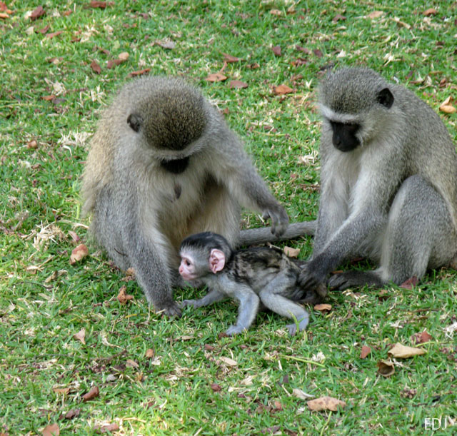 two adults vervet monkeys playing with a baby