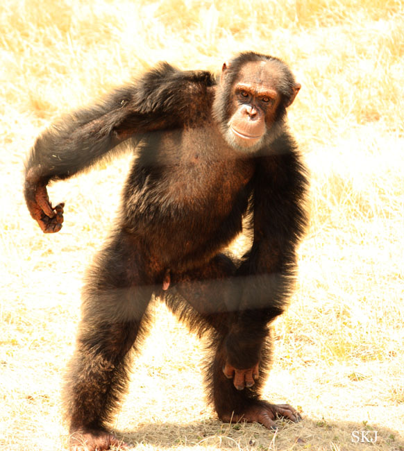 chimpanzee standing up with a swagger