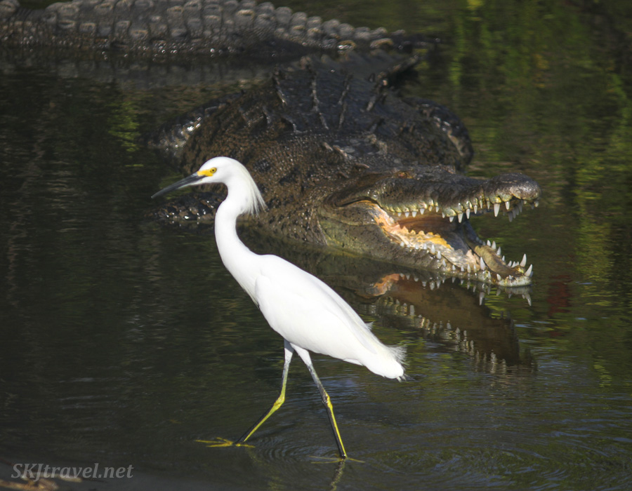 Egret casually strolling through the waters next to a crocodile in Popoyote Lagoon at Playa Linda, Ixtapa, Mexico.
