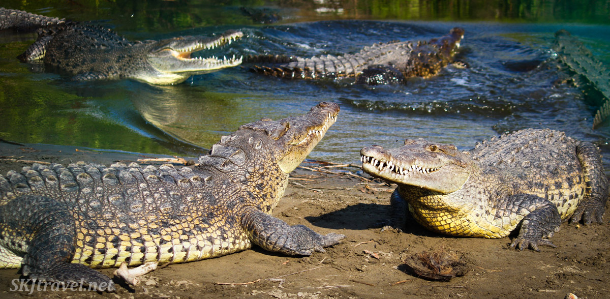 American crocodiles on the shore of the Popoyote Lagoon at Playa Linda, Ixtapa, Mexico.