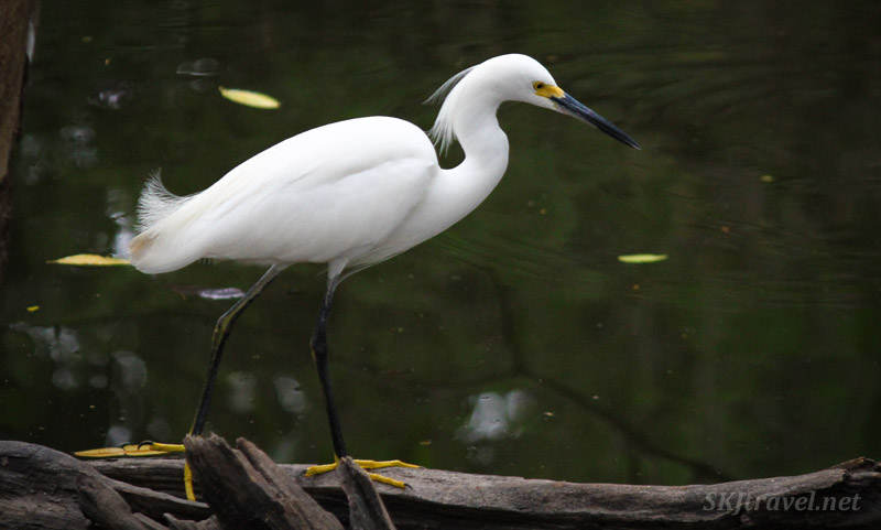 White egret at Popoyote Lagoon, Ixtapa, Mexico.