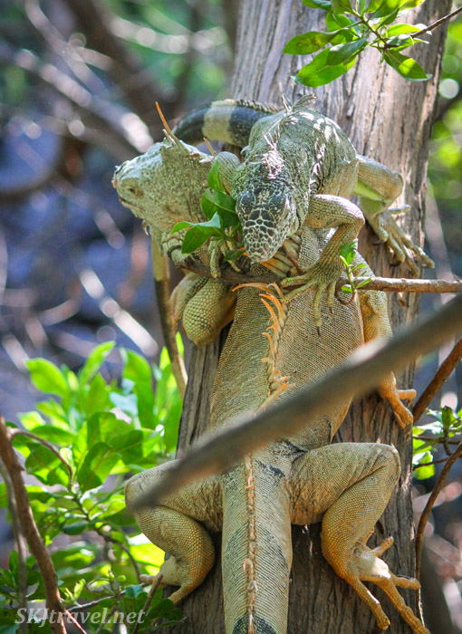 One iguana crawling over another on the tree branch highway. Popoyote Lagoon, Ixtapa, Mexico.