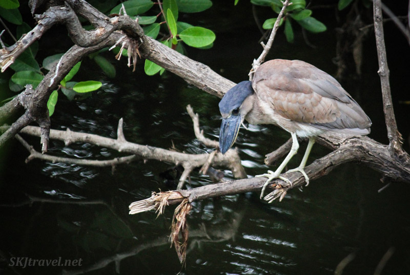 Boat-billed heron tasting the waters in Popoyote Lagoon at Playa Linda, Ixtapa, Mexico.