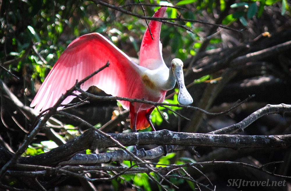 Roseate spoonbill landing on a mangrove branch, Popoyote Lagoon, Ixtapa, Mexico.