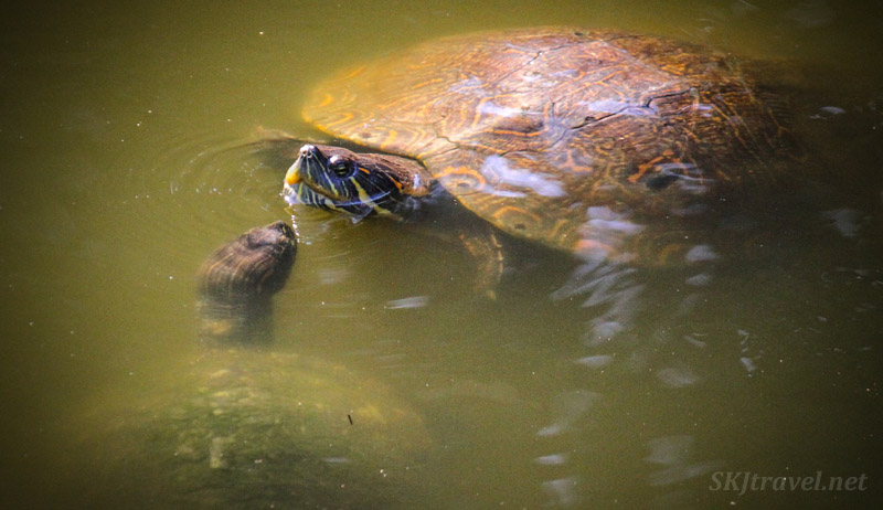 Turtles maybe about to kiss at Popoyote Lagoon, Ixtapa, Mexico.