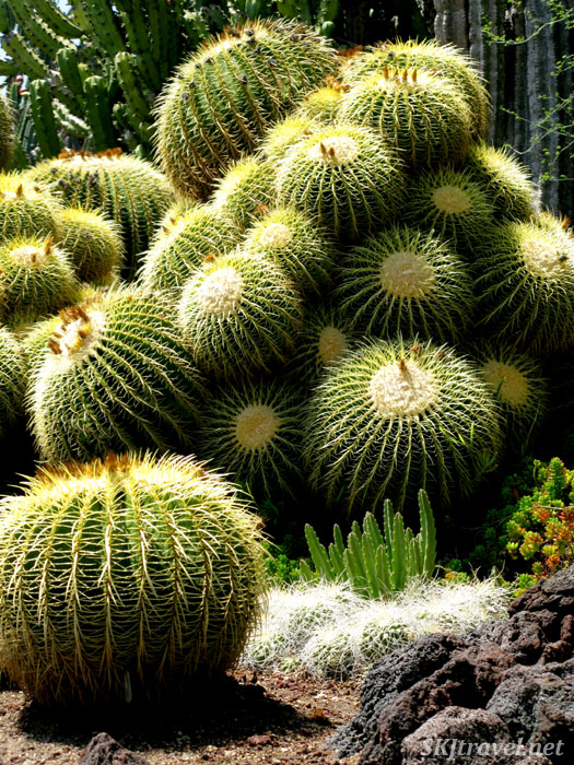 Clump of large golden barrel cactus. Huntington Botanical Gardens.