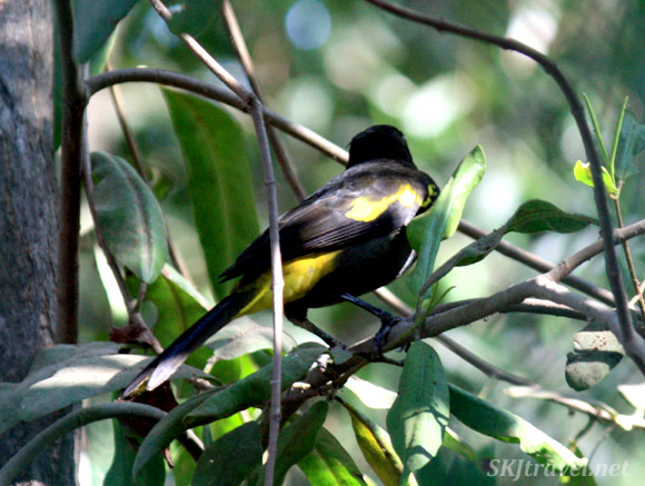 Small black and yellow bird in the trees. Ixtapa, Mexico.