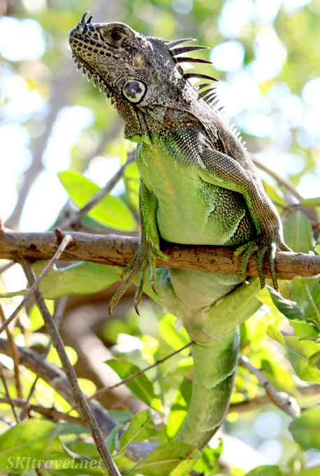 Green bellied iguana sitting on a tree branch. Ixtapa, Mexico.