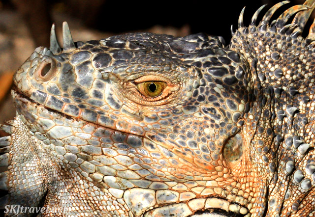 Close-up detail of a mature male iguana head. Ixtapa, Mexico.