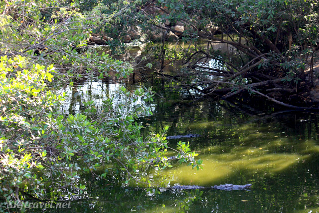 Lagoon with green water and dense tree branches. Popoyote Lagoon, Playa Linda, Ixtapa, Mexico.