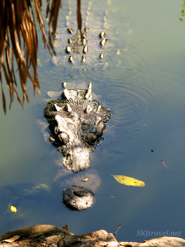 Crocodile just underneath surface of water. Popoyote Lagoon, Playa Linda, Ixtapa, Mexico.