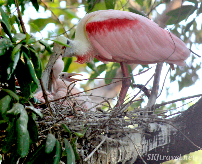 Roseate spoonbill baby feeds out of its mother's mouth. Popoyote Lagoon, Playa Linda, Ixtapa, Mexico.