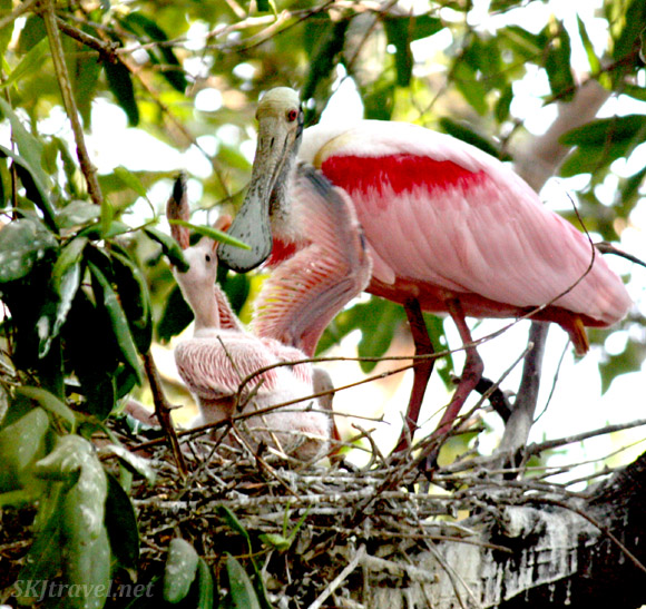 Baby roseate spoonbill reaches its wing toward its mother. Popoyote Lagoon, Playa Linda, Ixtapa, Mexico.
