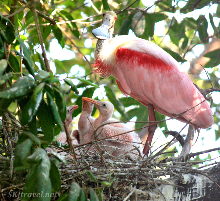 Roseate spoonbill mother and three babies in their nest. Popoyote Lagoon, Playa Linda, Ixtapa, Mexico.