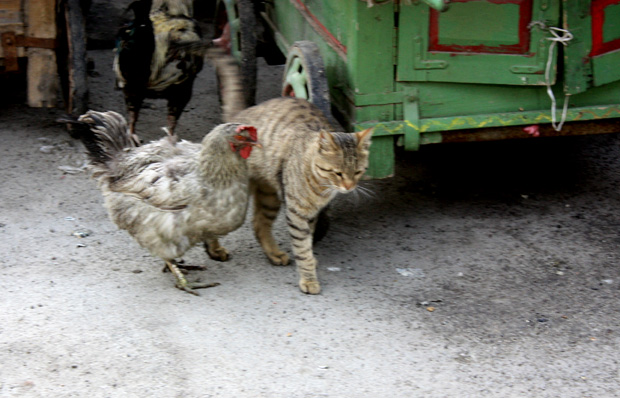 Kitty cat and his girlfriend chicken. Isfahan, Iran.