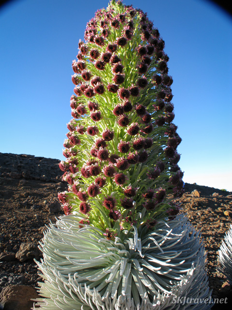 Silversword plant flowering on the summit of Haleakala volcano, Maui, Hawaii.