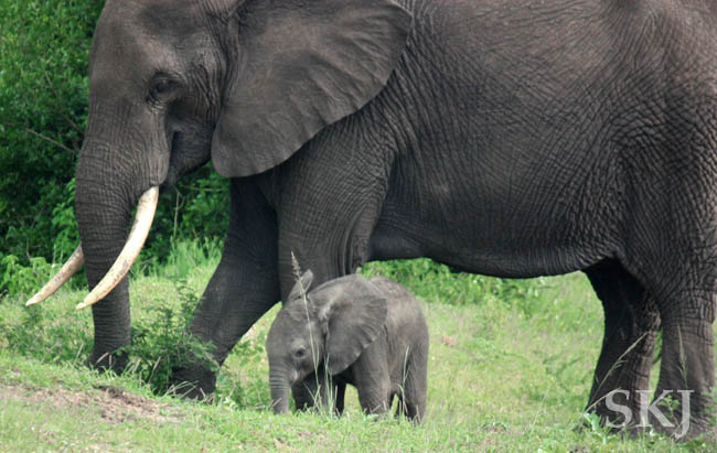 Elephant mother with very young baby in Queen Elizabeth National Park, Uganda.