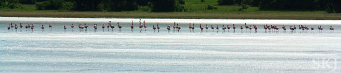 Flamingos on a lake in Uganda. Near Queen Elizabeth National Park.