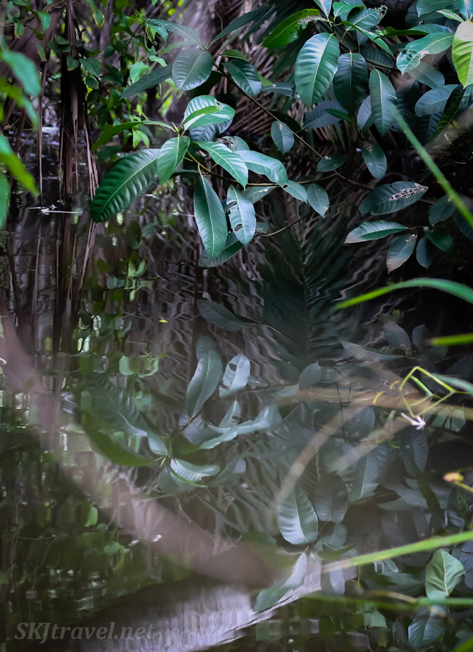 Reflection of plants in a small pool, in the jungle, Armila, Guna Yala, Panama.