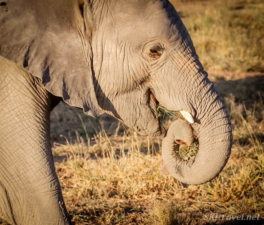 Young elephant curling his trunk around, eating grass. Amboseli, Kenya.