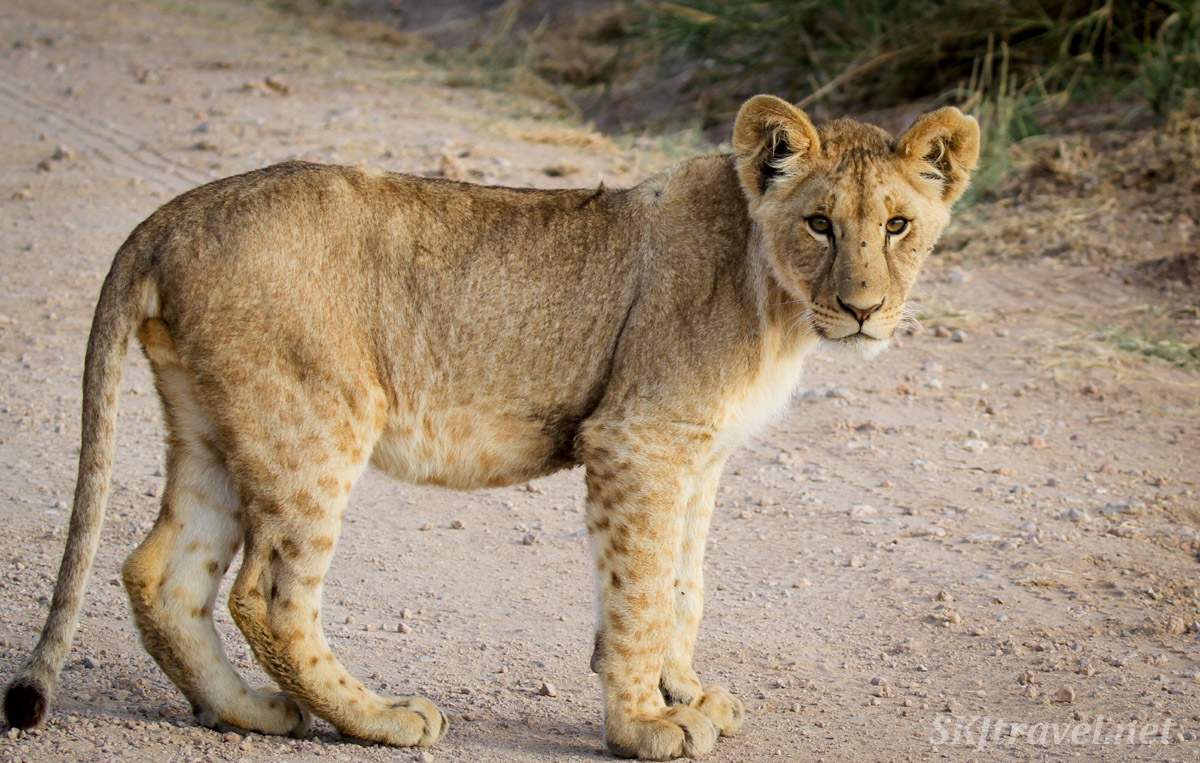 Lion cub on the road, Amboseli, Kenya.