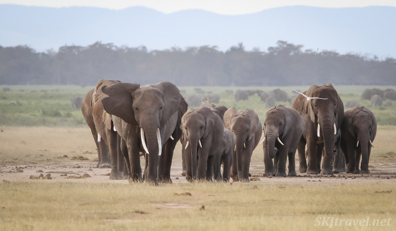 Elephants approaching across the plains of Amboseli, Kenya.