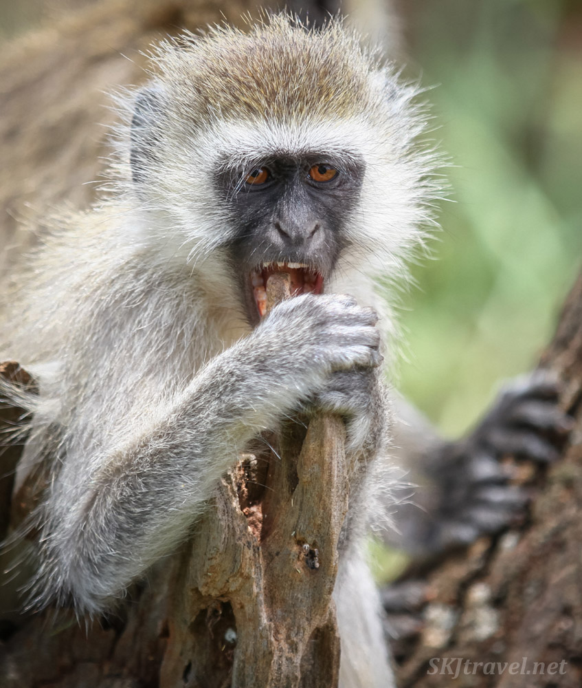 Vervet monkey gnawing on a piece of wood in the forest. Tarangire national park, Tanzania.