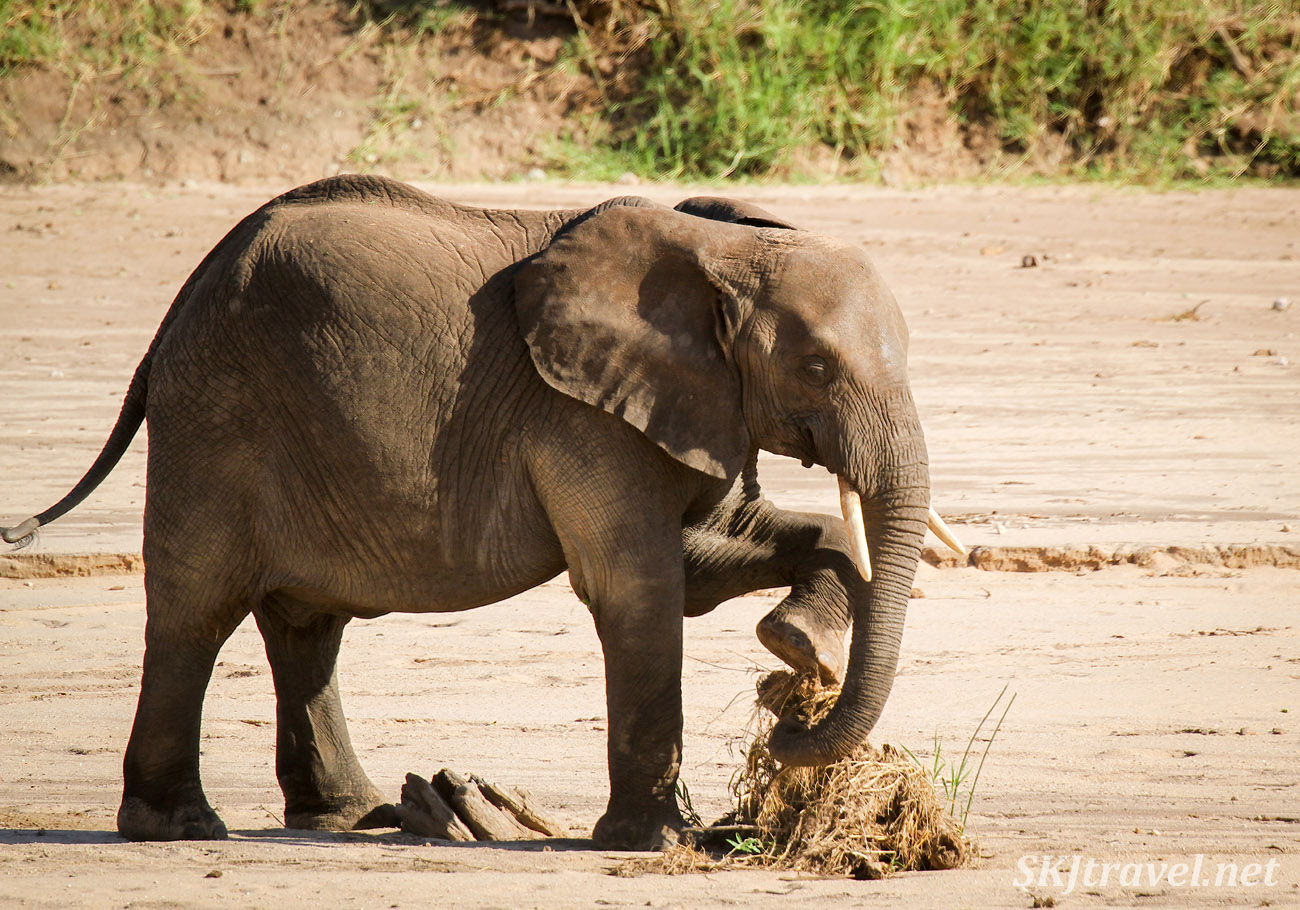 Elephant using his trunk and foot to make a pile of sticks. Tarangire national park, Tanzania.