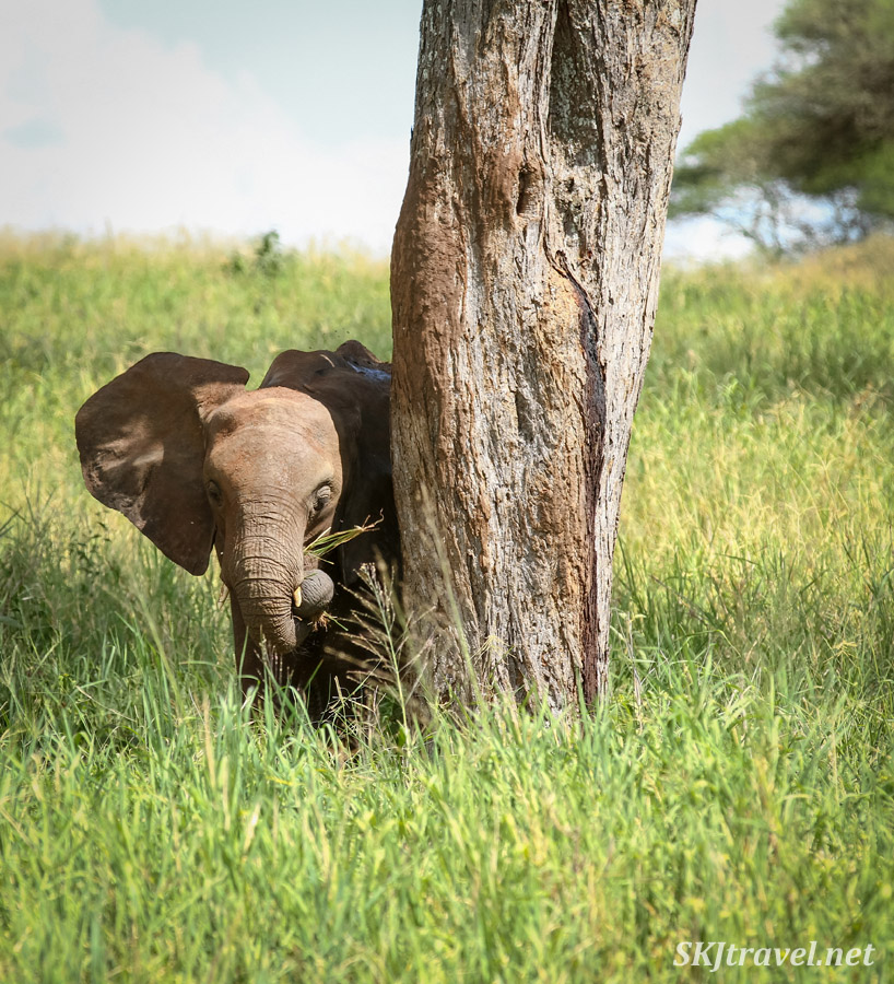 Young elephant eating next to a tree like he's just about to play peek-a-boo. Tarangire national park, Tanzania.