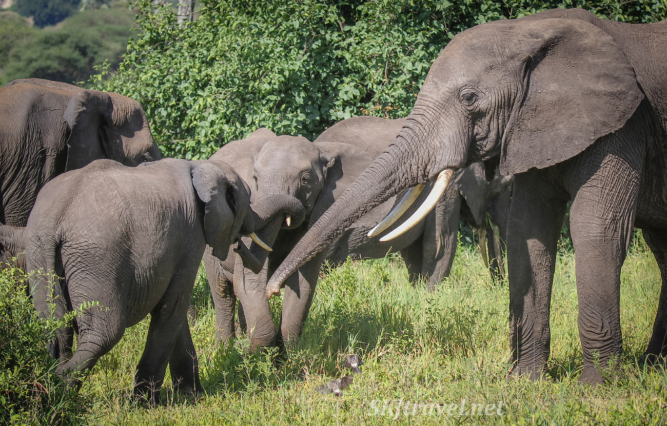 Elephants interacting with their trunks. Tarangire national park, Tanzania.