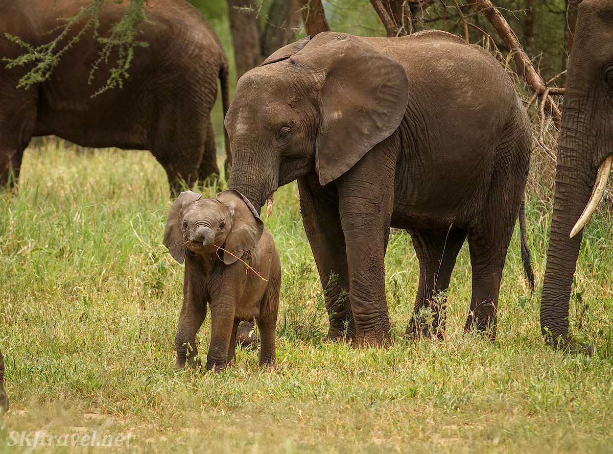 Young elephant proudly carrying around a small branch, Tarangire national park, Tanzania.
